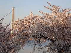 P3242876 (Dr. Fieldgood) Tags: washington dc national cherry blossom festival spring flowers mall