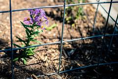 Caged (rg69olds) Tags: 05272018 35mm 5dmk4 canoneos5dmarkiv nebraska sigma35mmf14artdghsm canon oldmarket omaha sigma flower bloom caged purple sidewalk fence 35mmf14dghsm|a