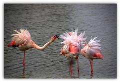 """Les copines . . .j'ai pris RdV chez le coiffeur SoS """"Comic scene"""" (nickylechatreux) Tags: oiseau eau environnement envol flamand paysage plumes smileonsaturday sos comicscene"""