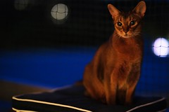 Lizzie looking for night flies (DizzieMizzieLizzie) Tags: abyssinian aby lizzie dizziemizzielizzie portrait cat feline gato gatto katt katze kot meow pisica sony neko gatos chat fe ilce 2018 ilce7m3 a7iii sel85f14gm pose classic window curious inquisitive pet blue azur iso12800 night dark