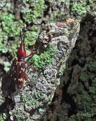 Weevily Dreams (ALLART1) Tags: oaktimberworm weevil female coleoptera beetles arrhenodesminutus kuangren800flash