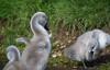 cygnets Bushy Park (H. Smithers) Tags: cygnets bushy park