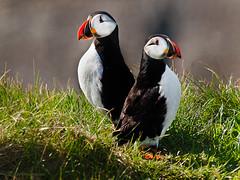 Papagaio-do-mar (Fratercula artica) (Arlindo Fragoso) Tags: aves birds avifauna fraterculaartica iceland islândia islandie birdwatcher trip may spring