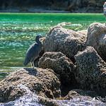 Reef Heron/Matuku Moana thumbnail