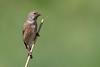 Linnet (Simon Stobart) Tags: linnet carduelis cannabina north east england uk reed male