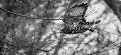 Broad-winged Hawk (*Ranger*) Tags: nikond3300 hawk bird forest woodland outdoors nature edgarevinsstatepark tennessee usa blackandwhite