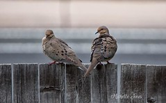 May 28, 2018 - Mourning doves in Thornton. (Michelle Jones)