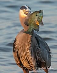 Spearfishing (Lindell Dillon) Tags: greatblueheron wadingbird birding nature spearfishing oklahoma lindelldillon wildoklahoma
