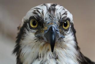 365 - Image 155 - Osprey...