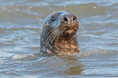 JWL7816  Grey Seal... (jefflack Wildlife&Nature) Tags: seashore sea seal seals shingle beaches islands countryside coastline coastal coast shoreline mammal norfolk nature
