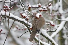 _MG_9052 (Foto Massimo Lazzari) Tags: revisione fotomassimolazzari bird inverno neve