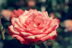 Rose (Kapitalist63) Tags: rose red color flora flowers nature bush garden cluster meadow light bright look view