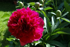 Bauernrose (Gartenzauber) Tags: saariysqualitypictures floralfantasy coth coth5 alittlebeauty fantasticnature
