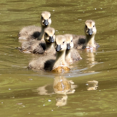 Goslings swimming, Canada geese (Andy Sut) Tags: flock cute young birds dennfarm wildlife shropshire england pond water swimming nature canadageese goslings lumix andysutton bridgecamera amateur