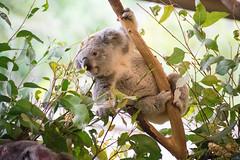 Australia_2018-92.jpg (emmachachere) Tags: subtropical trees hike waterfall boatride springbrook australia rainforest kanagroo animals koala brisbane boat lonepinekoalasanctuary