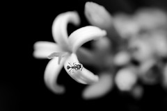 ant in white (glezygber) Tags: ygonikon nature macro macrodreams flower monochrome nikondx nikongears nikkor bioencuadre