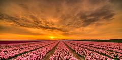 Pink Sunset. (Alex-de-Haas) Tags: 11mm adobe blackstone d850 dutch hdr holland irix irix11mm irixblackstone lightroom nederland nederlands netherlands nikon nikond850 noordholland photomatix photomatixpro asparagaceae beautiful beauty bloem bloemen bloementeelt bloemenvelden cirrus cloud clouds cloudscape floriculture flower flowerfields flowers hyacint hyacinten hyacinth hyacinths hyacinthus hyacinthusorientalis landscape landschaft landschap lente lucht mooi polder skies sky skyscape spring sun sundown sunset wolk wolken zonsondergang schagerbrug nl