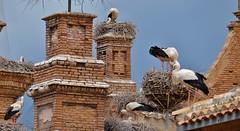 Les cigognes d'Alfaro, Ribera d'Ebre, Navarre (thierry llansades) Tags: alfaro cigognes cigogna oiseau navarre ebre ebro saragosse zaragoza tudela tudella bardenas reales bardenasreales desert tarrazona pamplona pampelune