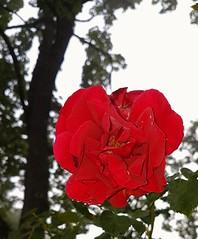 heute morgen 2018-06-08_06-20-27 - nach der Nachtschicht (eagle1effi) Tags: s7 rose rosen roses bokeh forced flash smartphone photo celly