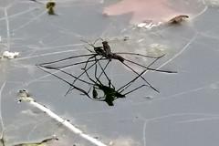 Ferris lacustris — araignée d'eau à la saison des amours (The Multilayered European) Tags: red nature naturallife insects water france iledefrance