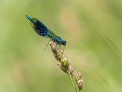 Banded Demoiselle Male (iantaylor19) Tags: damselfly warwickshire wildlife trust brandon marsh nature reserve