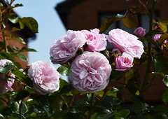 DSC_0147 (PeaTJay) Tags: nikond750 reading lowerearley berkshire macro micro closeups gardens outdoors nature flora fauna plants flowers rose roses rosebuds