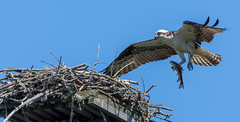 Osprey bringing fish to the nest to feed its mate (miro_mtl) Tags: balbuzardpêcheur d7200 grenvillesurlarouge harrington laurentides nikon nikond7200 outdoors pandionhaliaetus tamron tamronsp150600mm america amerique animals balbuzard bird birdofprey bluesky canada claws eating feathers fish fishing flight liberty nature nest oiseau oiseaudeproie osprey quebec raptor sky toes wildlife wings