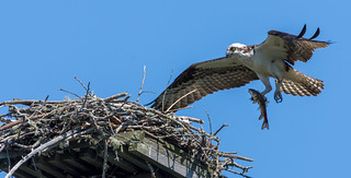 Osprey bringing fish to the nest to feed its mate