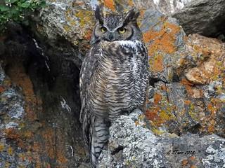 DSCN9324 male great horned owl