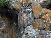 DSCN9324 male great horned owl (starc283) Tags: owl gw starc283 bird birding nature wildlife natues finest great horned owlets watching natures raptor animal pet flicker flickr malegreathornedowl