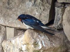 Barn swallow, 2018 Jun 02 (Dunnock_D) Tags: uk unitedkingdom britain swallow bird perched perching stone wall tebay westmorland servicestation england cumbria