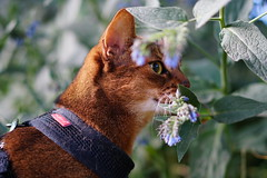 With blue flowers (DizzieMizzieLizzie) Tags: flower blue abyssinian aby lizzie dizziemizzielizzie portrait cat feline gato gatto katt katze kot meow pisica sony neko gatos chat a6500 zeiss fe 55mm f18 za ilce6500 ilce sel55f18z sonnar 2018 bokeh pet animal