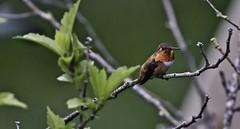 The Boss (robinlamb1) Tags: nature outdoor animal bird hummingbird rufoushummingbird selasphorusrufus male