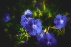 Lovely flowers ... (Julie Greg) Tags: flower flowers fujifilmxt20 nature colours blue park england kent uk