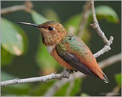 Allen's Hummingbird (Selasphorus sasin) (mueflickr) Tags: borderfx allenshummingbird sandiego california sigma500f40