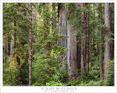 Redwood Forest Understory (G Dan Mitchell) Tags: redwood tree forest understory trees brush bush fern green nature landscape delnorte state park california usa north america national