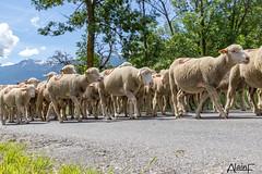 transhumance (Alain FASSETTA) Tags: mouton transhumance