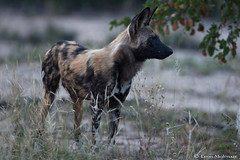 The hunt is on (leendert3) Tags: leonmolenaar southafrica krugernationalpark wildlife nature mammals africanwilddog ngc npc coth5