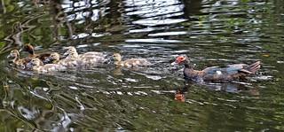 Muskogee muscovy ducks