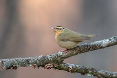 Worm eating Warbler (Joe Branco) Tags: branco joe songbird summer spring ontario photoshopcc2018 joebrancophotography canada nikond850 d850 nikon wildlifephotography wormeatingwarbler green