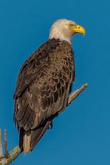 Bald Eagle (Kevin Fox D500) Tags: baldeagle eagle bird birding birdwatching birds birdofprey bop nature nikond500 nikon sigma150600sport sigma pennsylvania peacevalley
