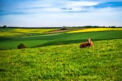 Loner Girl (Claudia G. Kukulka) Tags: fields felder meadow wiese cow kuh sky himmel gras tier