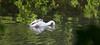 Ride (ArtGordon1) Tags: london england uk summer 2018 june davegordon davidgordon daveartgordon davidagordon daveagordon artgordon1 nature eppingforest wansteadpark muteswan cygnets birds avian ornithology ornamentalwaters earlymorning