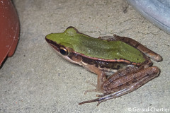 Hylarana mortenseni (GeeC) Tags: amphibia animalia anura cambodia chordata frogstoads hylarana hylaranamortenseni kohkongprovince nature ranidae ranoidea tatai truefrogs