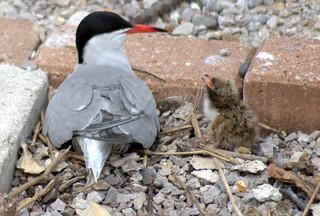 Terns at Preston Docks