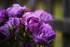 DSC_0336 (PeaTJay) Tags: nikond750 sigma reading lowerearley berkshire macro micro closeups gardens outdoors nature flora fauna plants flowers rose roses rosebuds