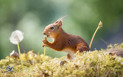 red squirrel is tasting dandelion seeds (Geert Weggen) Tags: change dandelion nature wind springtime newlife freedom aspirations lifestyles luck flower wishing backgrounds concepts allergy summer pollen individuality dandelionseed season time environmentalconservation greencolor sunlight field nopeople seed flying enjoyment fragility meadow environment growth morning photography blossom seedling uncultivated weeding freshness beautyinnature copyspace horizontal plant midair plantstem redsquirrel squirrel animal geert weggen ragunda sweden jämtland bispgården
