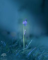 Moonlit bluebells (James Mc Innes) Tags: 70200mm bluebells canon canon7dmkii jamesmcinnes lightroom may nature plants somerset spring flowers