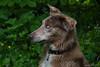 Les yeux du chien_5007 (lucbarre) Tags: yeux bleus chien chiens dog dogs extérieur outside tarn les cammazes rigole