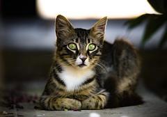 Cyprus Stray (Jacob Arnold Photo) Tags: depthoffield greeneyes colours tourism holiday sigma150600 d850 nikon summer paphos kathikas cyprus eyes stray cat